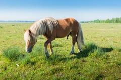 与白肤金发的鬃毛和尾巴的公马 库存图片