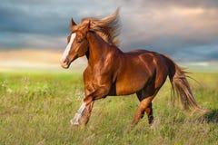 与白肤金发的鬃毛的红色公马 免版税库存图片