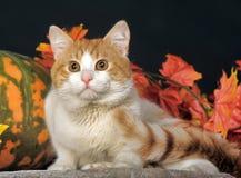 与白色乳房的姜猫 免版税库存图片