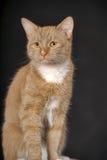与白色乳房的姜猫 库存图片
