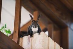 与白色乳房的红发灰鼠坐砖专栏 库存照片