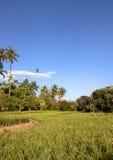 主要椰子领域。 免版税库存照片