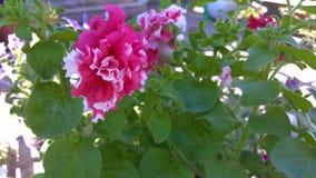 与白色修剪的特里桃红色喇叭花在庭院里增长 股票录像