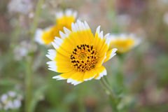 与白色修剪的黄色番红花 库存图片