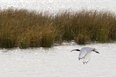 与白色全身羽毛和黑顶头盘旋的澳大利亚白色朱鹭 库存照片