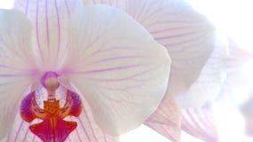 与白色兰花的轻的背景 免版税库存图片