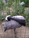 与白色冠的灰色苍鹭自夸它的羽毛的 免版税库存照片