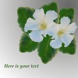 与白色冬葵滤网创造的花传染媒介的卡片 库存照片