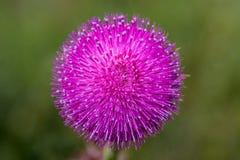 与白色加盖的瓣的紫色圆的花 库存照片