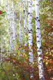 与白色吠声的桦树在早期的秋天 库存照片