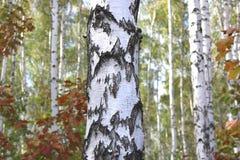与白色吠声的桦树在早期的秋天 图库摄影