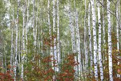 与白色吠声的桦树在早期的秋天 免版税库存照片
