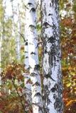 与白色吠声的桦树在早期的秋天 库存图片