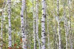 与白色吠声的桦树在早期的秋天 免版税库存图片