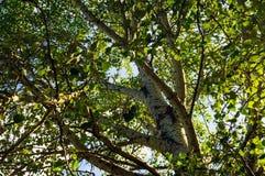 与白色吠声(白杨木、白杨树,桦树)的高树 免版税库存图片