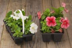 与白色和桃红色喇叭花幼木的两张塑料花盆在年迈的木桌上 免版税图库摄影