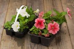 与白色和桃红色喇叭花幼木的两张塑料花盆在年迈的木桌上 免版税库存图片