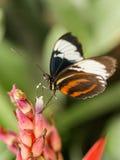 与白色和红色条纹的黑蝴蝶 库存照片