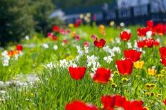 与白色和黄色花的红色郁金香 免版税库存图片