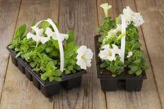 与白色喇叭花幼木的两张塑料花盆在年迈的木桌上 库存图片