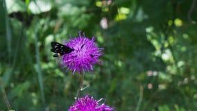 与白色圈子的黑蝴蝶在紫色 股票录像