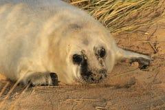 与白色外套的幼小灰色小海豹 库存图片