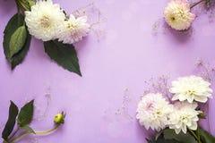 与白色大丽花框架的紫色背景开花 复制Spac 免版税库存照片