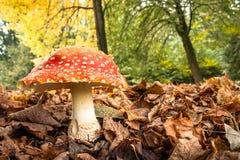 与白色小点的大红色蘑菇 免版税图库摄影