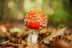 与白色小点的红色蘑菇 免版税库存照片