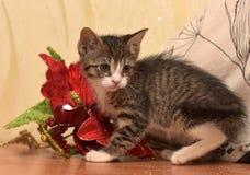 与白色小猫的镶边袜子在红色圣诞节旁边开花 图库摄影