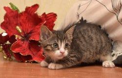 与白色小猫的镶边袜子在红色圣诞节旁边开花 免版税图库摄影