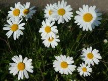与白色开花的延命菊花在草甸 库存图片