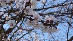 与白色开花的花的杏子分支 股票录像