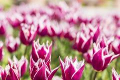 与白色技巧的被弄脏的背景美丽的桃红色郁金香 免版税库存照片