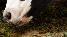 与白色斑点的一头黑母牛在谷仓站立并且吃草青贮、特写镜头、母牛枪口,母牛食物和种田,母牛 股票视频