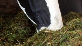 与白色斑点的一头黑母牛在谷仓站立并且吃草青贮、特写镜头、母牛枪口,母牛食物和种田,母牛 影视素材