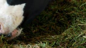 与白色斑点的一头黑母牛在谷仓站立并且吃草青贮、特写镜头、母牛枪口,母牛食物和种田, kine 股票录像
