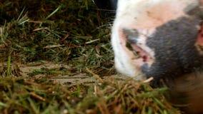 与白色斑点的一头黑母牛在谷仓站立并且吃草青贮、特写镜头、母牛枪口,母牛食物和种田 股票录像