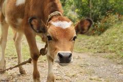 与白色斑点的一头幼小红色小牛在它的前额 库存照片
