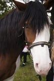 与白色斑点的丑恶的奇怪的马在面孔关闭 图库摄影