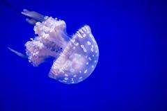 与白色斑点的唯一小白色水母在蓝色背景 免版税库存照片