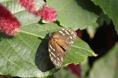 与白色斑点的布朗飞蛾 免版税库存照片