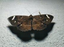 与白色斑点的黑蝴蝶 免版税图库摄影