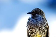 与白色斑点的黑鸟 免版税库存图片