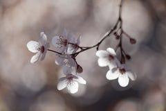 与白色春天花的美丽的树 库存图片