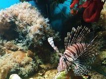 与白色条纹的美丽的棕色鱼在水族馆 免版税库存照片