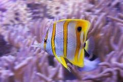 与白色条纹的黄色热带蝴蝶鱼 库存照片