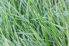 与白色条纹的绿草 免版税库存照片