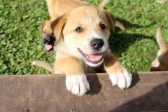 与白色标号的愉快的棕色小狗 库存照片