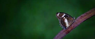 与白色标号的黑暗的蝴蝶在分支 库存图片